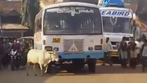 Krava 4 godine svakog dana zaustavlja bus, a razlog slama srce!