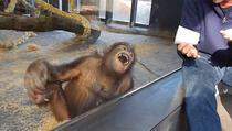 Majmunu su pokazali trik, on se valjao od smijeha po podu