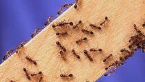 Kako da istjerate mrave iz kuće