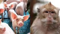Naučnici križali majmuna i svinju, životinja uginula nakon sedam dana