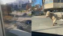 Bik pobjegao iz klaonice pa trčao po gradu i zamalo udario pješaka
