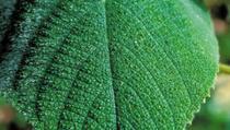 Upoznajte Gympie-Gympie: Samoubicu skrivenu u australijskoj prašumi
