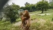 Borba lava i tigra u zoološkom vrtu bila je jeziva!