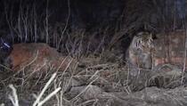 Tigar uhvaćen nakon što je napao ženu u selu