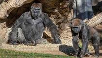 Više gorila u zoološkom vrtu zarazilo se koronom, do sada to nije zabilježeno