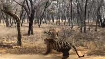 Pogledajte opaku borbu između dvije tigrice