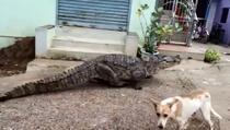 Ogromni krokodil prošetao selom i prestravio ljude