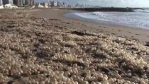 """Plažu u Argentini prekrila """"biserna jaja"""""""