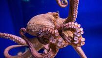 Istraživanje hobotnica otkriva tajne evolucije sna kod čovjeka