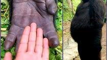 Slavna gorila koja je oduševila svijet, preminula u zagrljaju svog čuvara