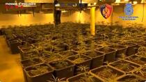 U Španiji uhapšeno 107 Albanaca zbog uzgajanja i prodaje marihuane