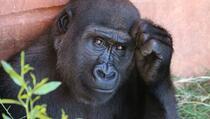 Gorile u ZOO vrtu zaražene koronavirusom