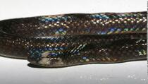 Naučnici lijek za COVID-19 pronašli u otrovu jedne od najopasnijih zmija?