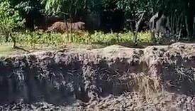 Tigar zalutao u grad i terorisao stanovnike
