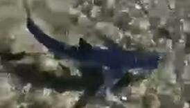 Na Visu snimljena ajkula kako pliva uz samu obalu