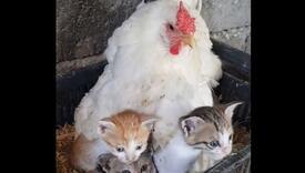 Kokoš usvojila mačiće koji su ostali bez majke