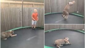 Pogledajte urnebesan snimak zabave buldoga na trampolini
