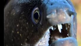 Morsko čudo u Jadranu: Može narasti do 2,75 m, jako je proždrljiv, krv mu otrovna