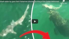 Riba u jednom zalogaju pojela morskog psa