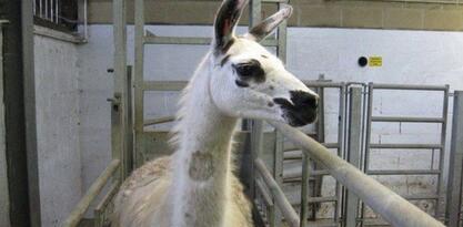 Upoznajte Fifi, životinju čija antitijela mogu biti ključ u borbi protiv COVID-a