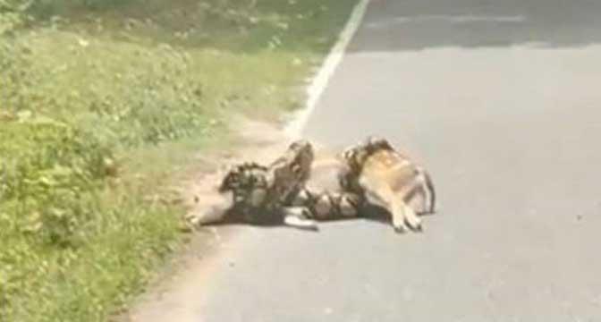 Piton davio srnu na cesti, ona dobila neočekivanu pomoć i uspjela ...